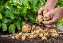 Alimetul zilei-cartoful