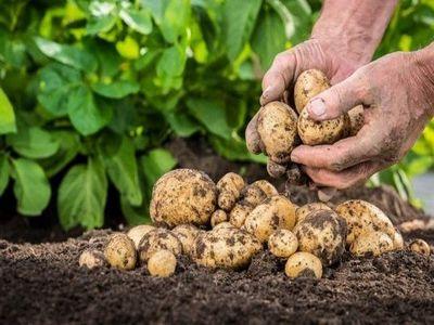 Cartoful-Istorie și beneficii ale consumului