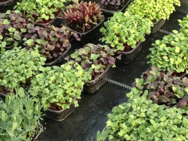 Microplantele și benefiiciile acestora pentru sănătate